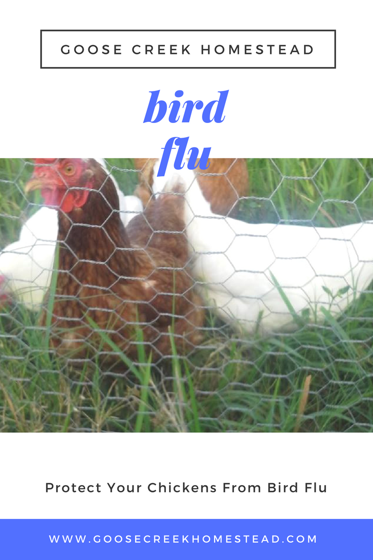 Protect Your Chickens From Bird Flu