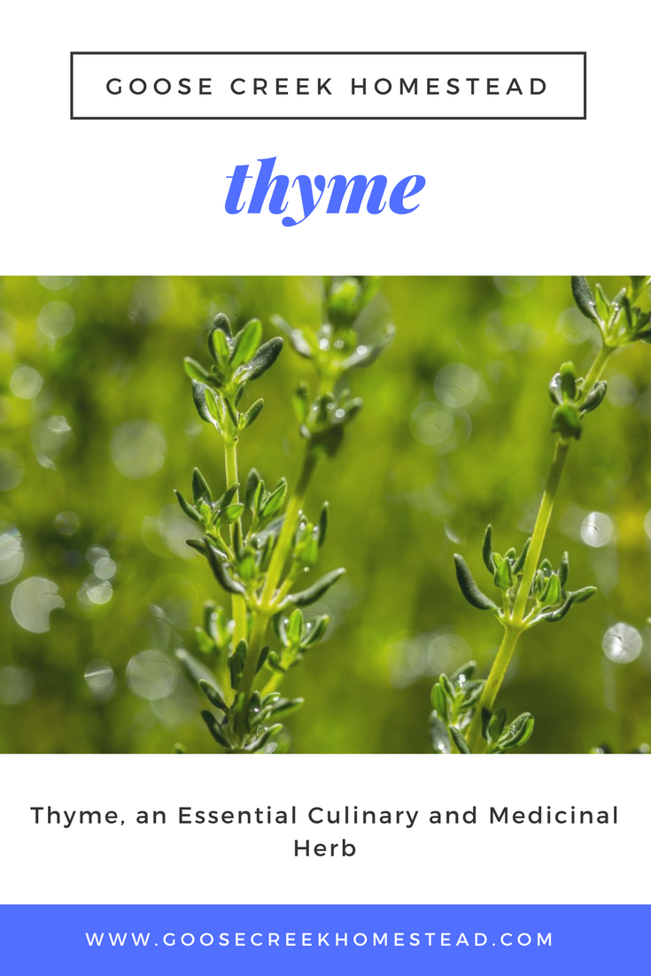 Thyme, an Essential Culinary and Medicinal Herb