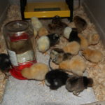 Welcoming baby chicks to the homestead